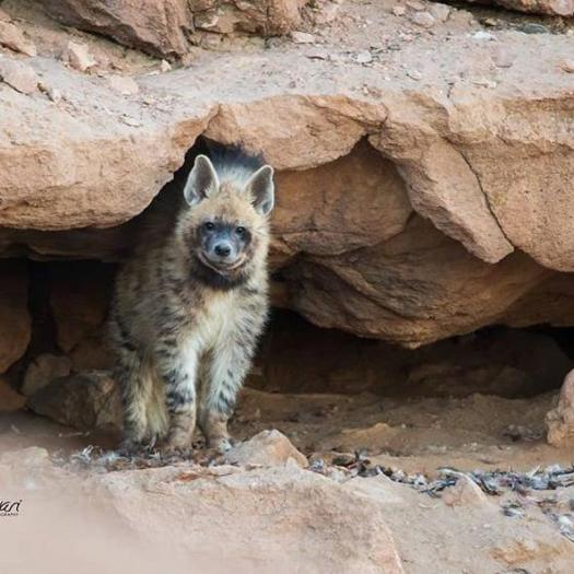 striped_hyena-_iran-_photo.jpeg