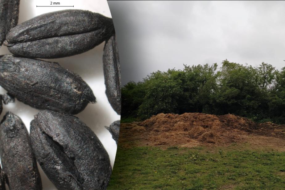 Grains de blé amidonnier du IIe siècle avant notre ère et fumier stocké avant épandage