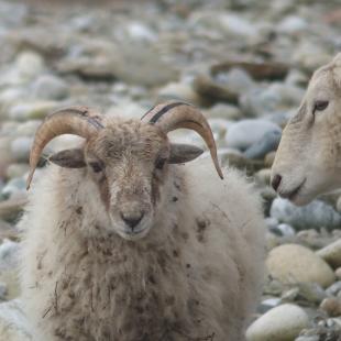Référentiel actuel des moutons de Quéménès (Ile Molène)